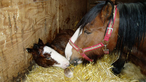 Clydesdale tips and links